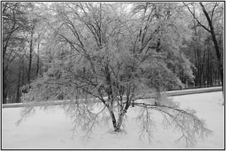 Tree with iceb&w