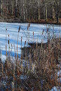 Audubon Cattails