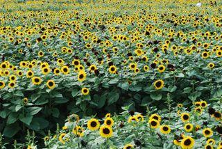 Sunflower Maze Sept. 2009 020