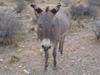 Wild_burro